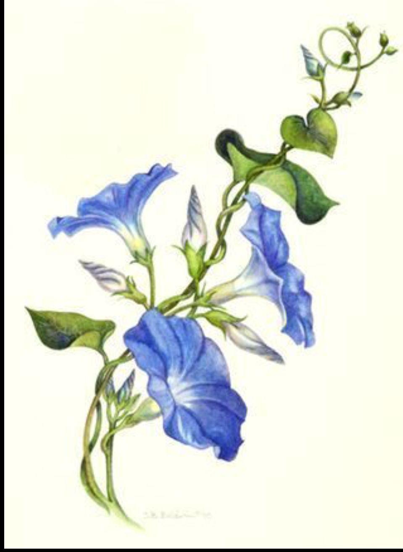 Pin By Jel Jel On Tattoo Ideas Vine Drawing Flower Drawing Morning Glory Tattoo