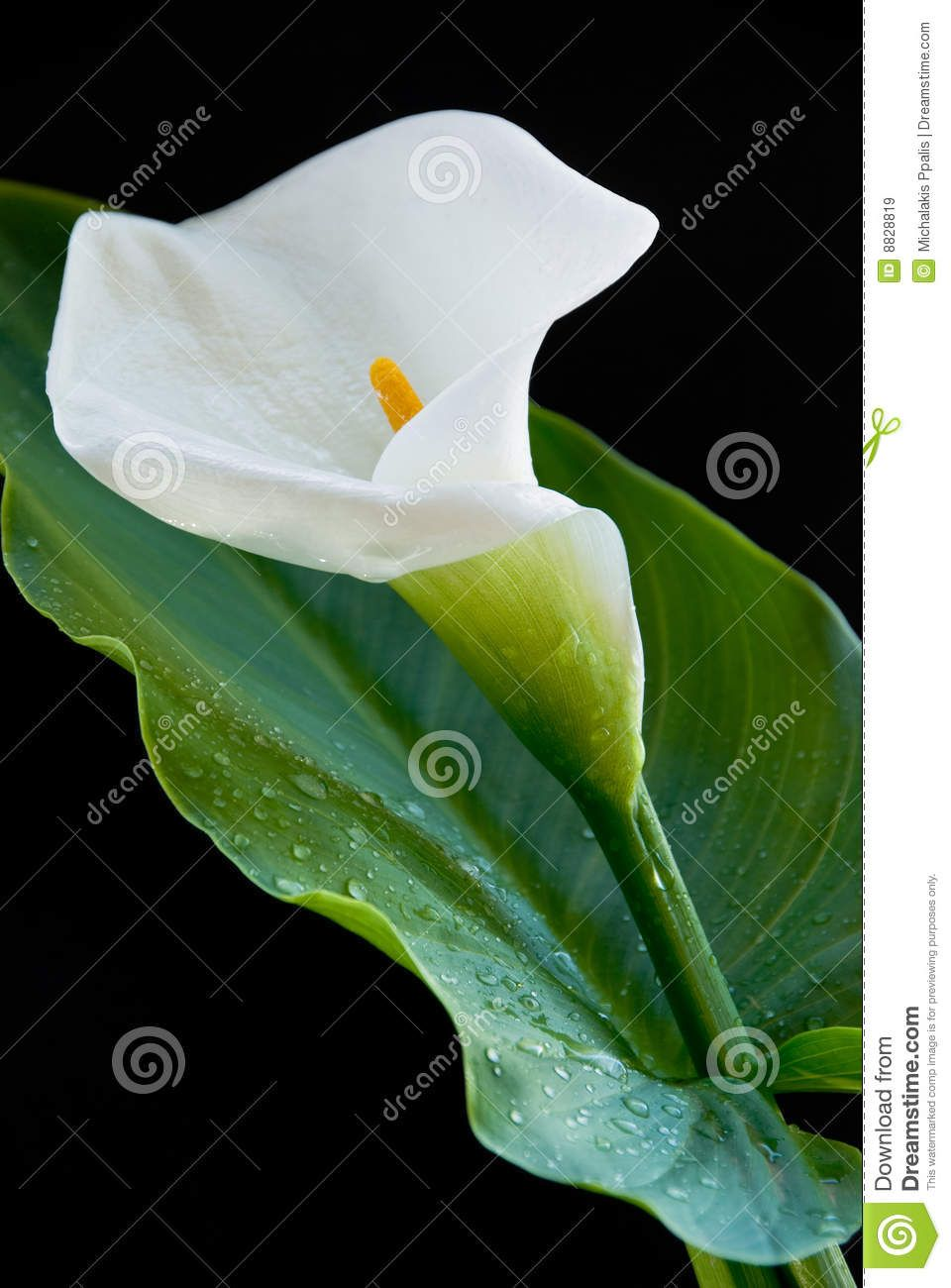 Image result for calla lilies leaves flowers pinterest calla image result for calla lilies leaves izmirmasajfo Image collections