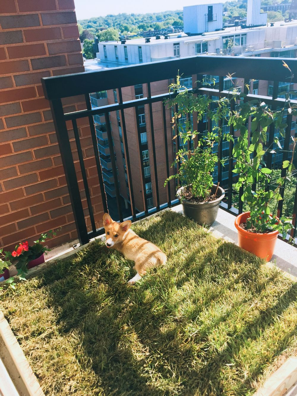 The Finished Product In Action Balcony For Dogs Apartment Hacks Dog Ideas