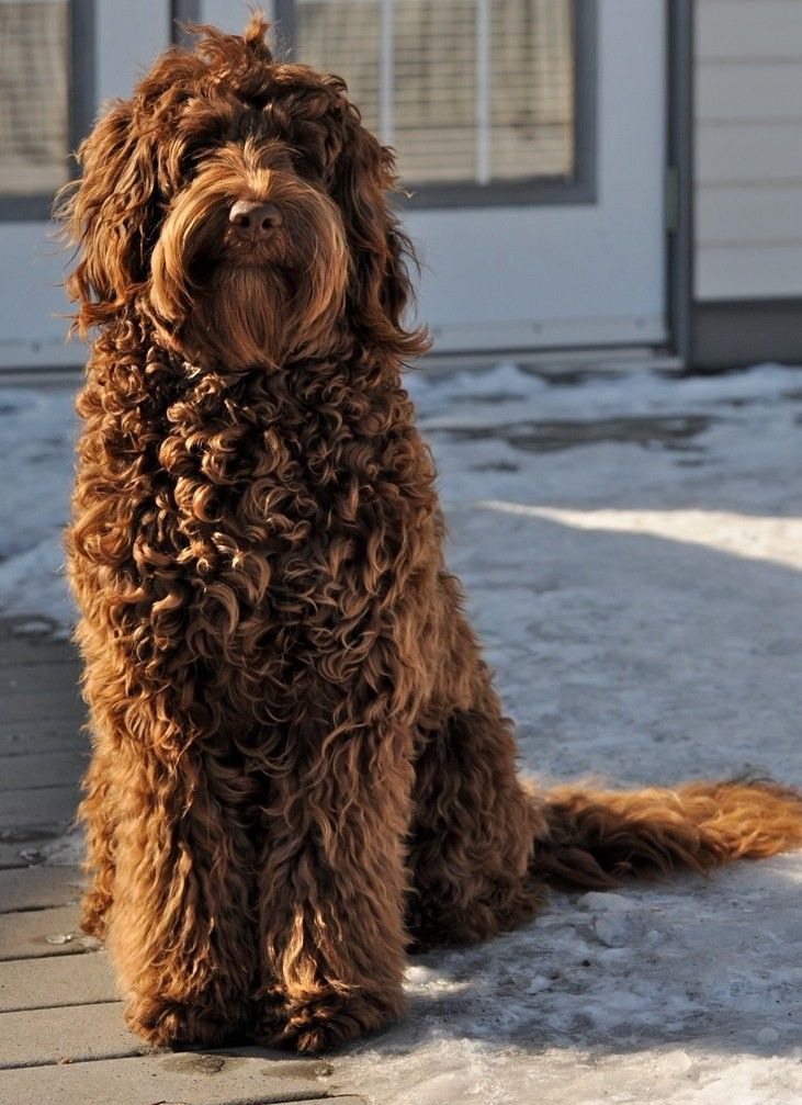chocolate labradoodle. I want a dog in the next 2 years.