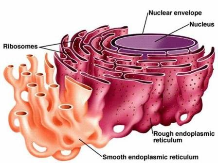 endoplasmic reticulum animal cell diagram wiring for tow bar mcq on organelles biology learning through mcqs