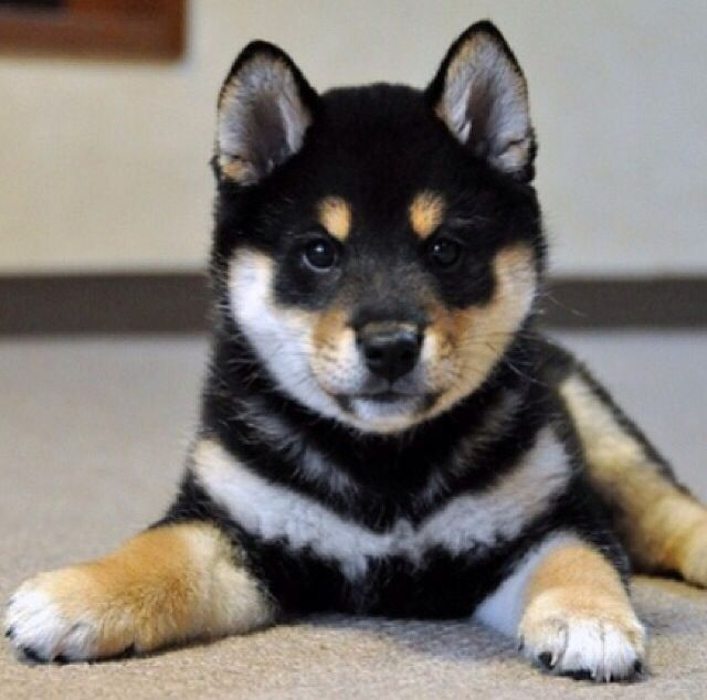 Precious puppies image by Emilee Hughes Japanese dogs