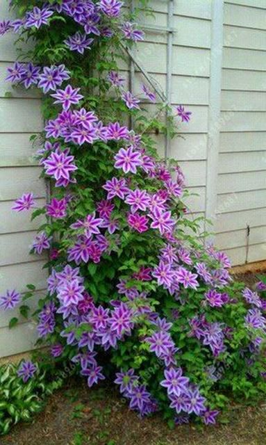 100pcsbag Clematis Seeds Flower Clematis Vines Bonsai Flower Seeds