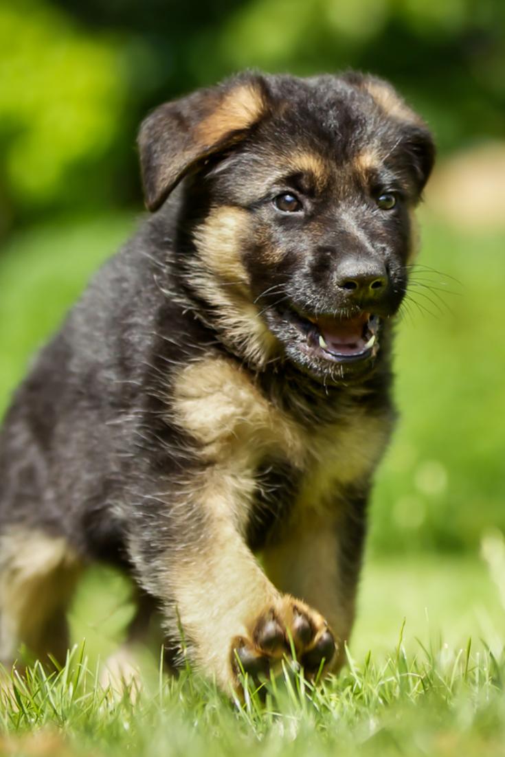 Six Week Old Pedigree German Shepherd Puppy Outdoors On A Sunny