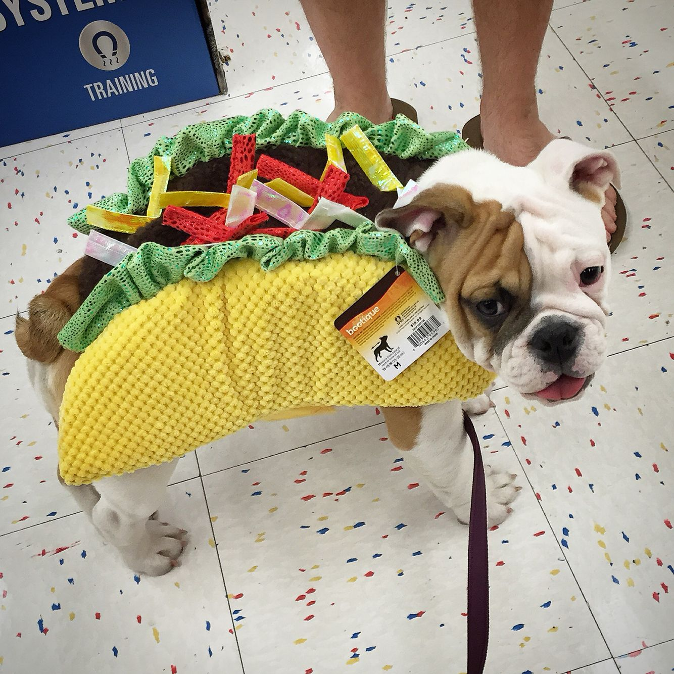 Trying on Halloween costumes. | Ms. Bacon the English bulldog ...