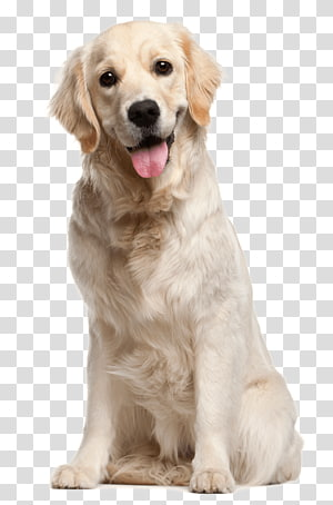 Dogs Transparent Background Png Clipart Yellow Labrador Retriever Pet Puppy Dog Wash