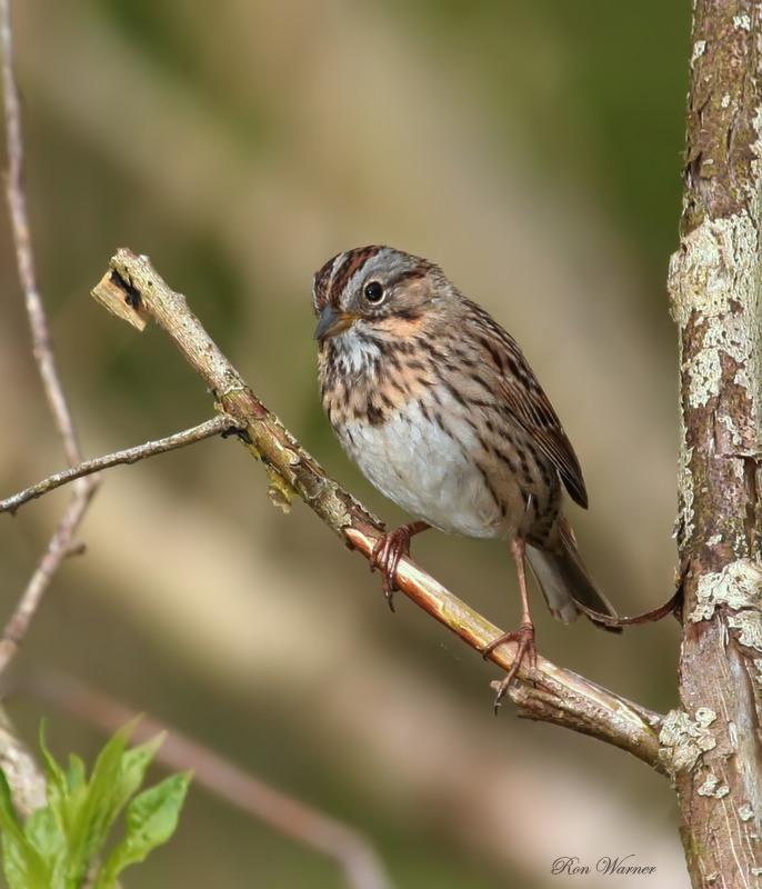 Lincoln S Sparrow Melospiza Lincolnii Wild Birds Birds