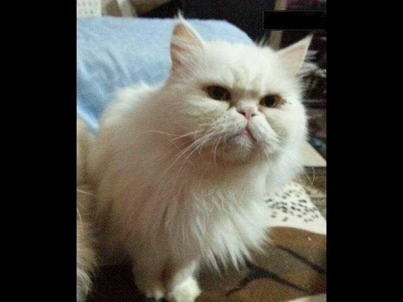 انثى بيكى فيس منتجة عيون عسلى بيضا Animals Cats Egypt