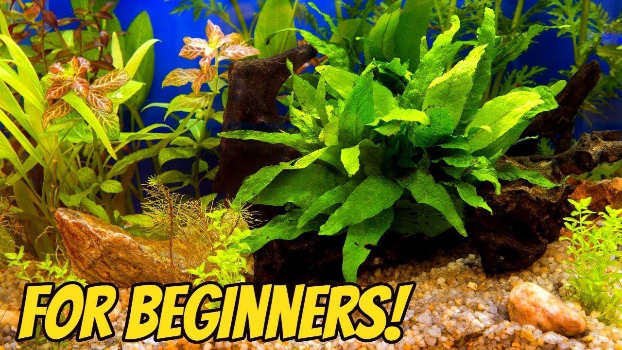 My Top 10 Easy Beginner Aquarium Plants Turtle Aquarium Planted Aquarium Live Aquarium Plants