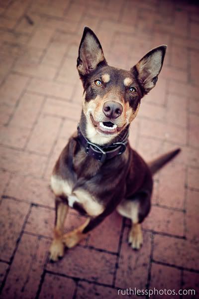 This Is A Kelpie It Might Be What My Dog Wilma Is Dog Breeds