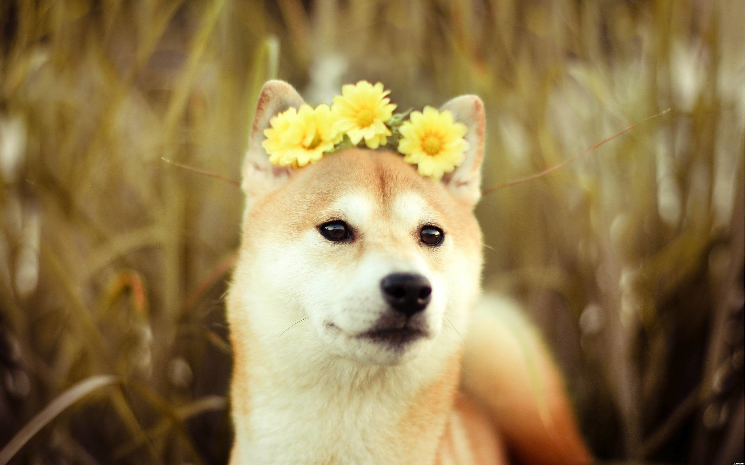 76 Doge Meme Wallpapers on WallpaperPlay Cute dog