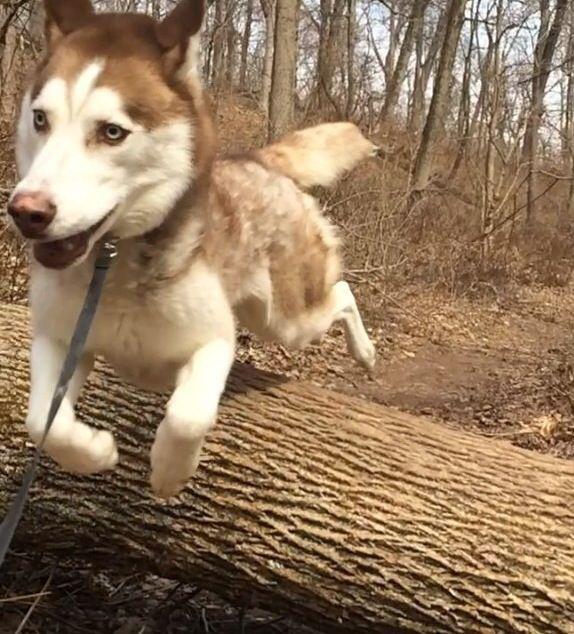 Flying Husky Doga Dogs