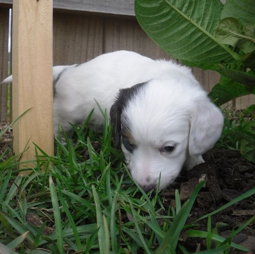 Pup 3 Akc Miniature Dachshund Female Almost Solid White Dachie