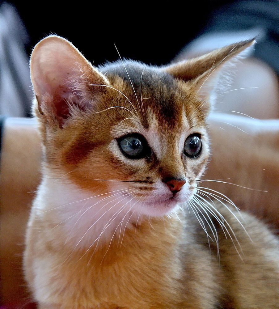 Kitten by Serg Semin on 500px | CAT | Pinterest | Abyssinian and Cat