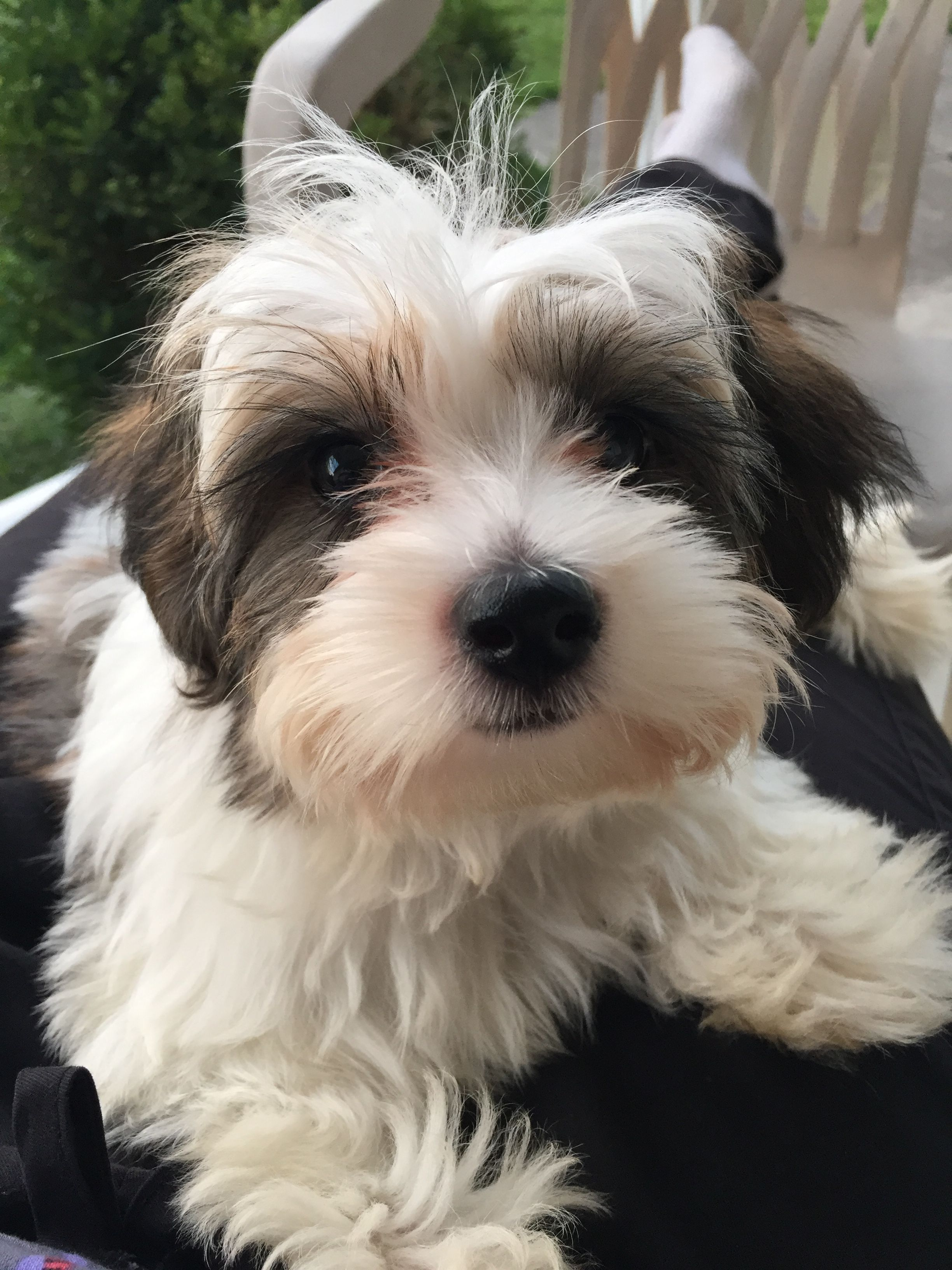Snoopy 12 Week Old Maltipoo Maltipoo Dogs Animals