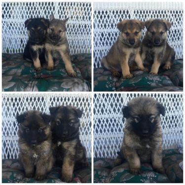 7 Gorgeous Ckc German Shepherd Puppies For Sale Puppies For