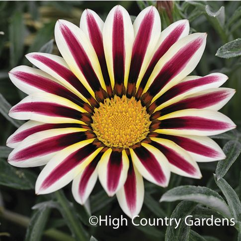 Gazania 'Frosty White Flame'  Could be good in the bed next to the house.