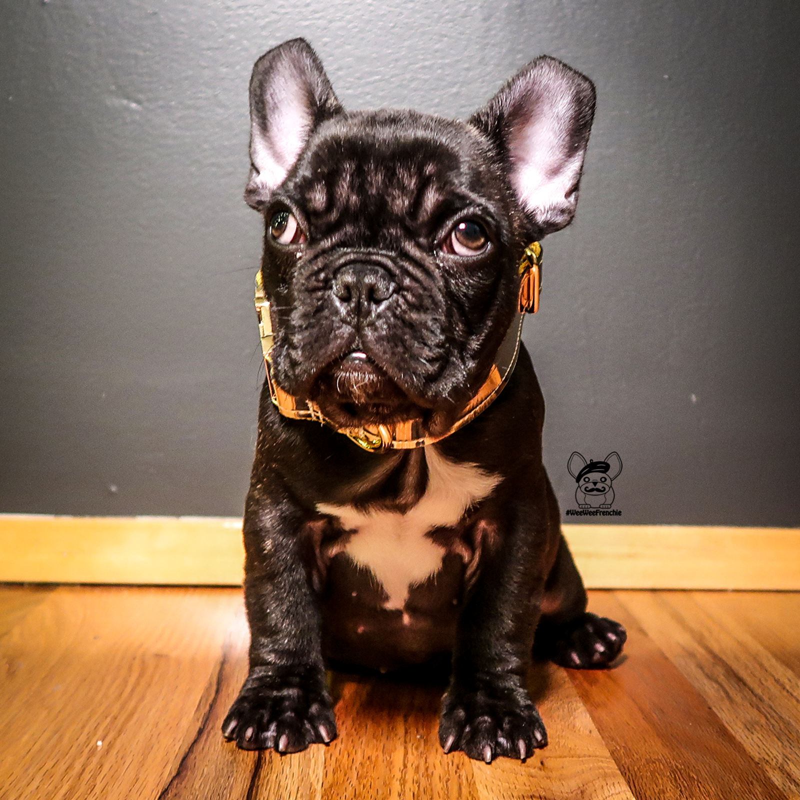 Why picking the right breeder matters French bulldog