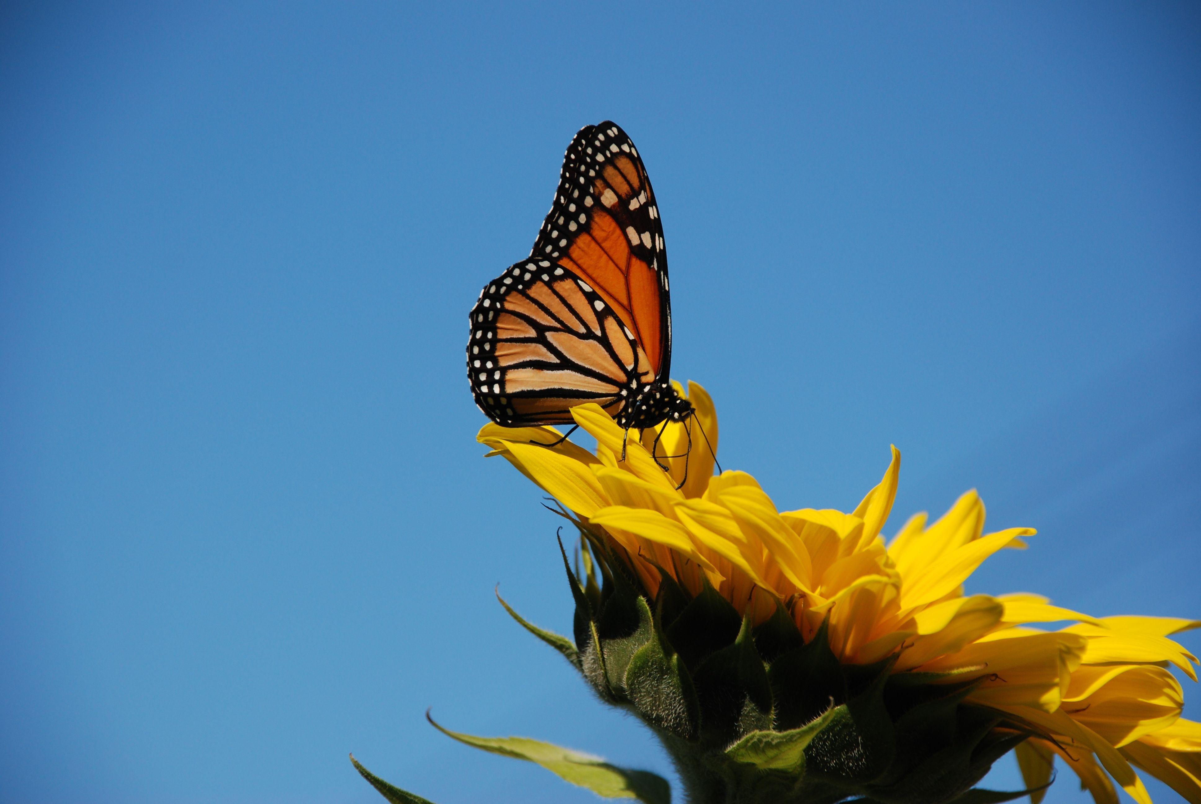 butterfly on sunflower wallpaper desktop free | Butterfly ...