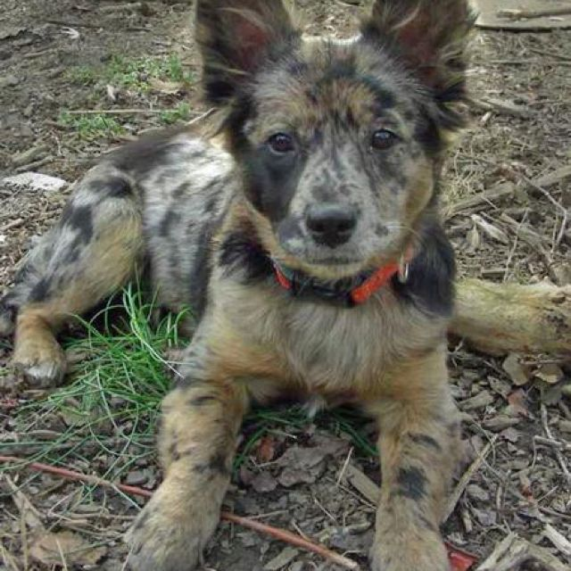 Cattle Dog/Retriever Mix Cattle dogs mix