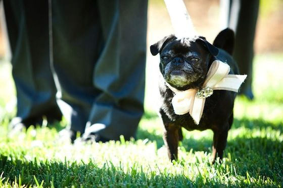 The Cutest Little Member Of The Wedding Party A Pug Ring Bearer