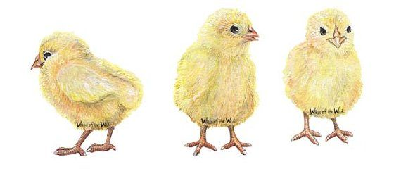 Baby Chicks Peel and Stick Wall Mural - Wall Sticker Outlet | Walls ...