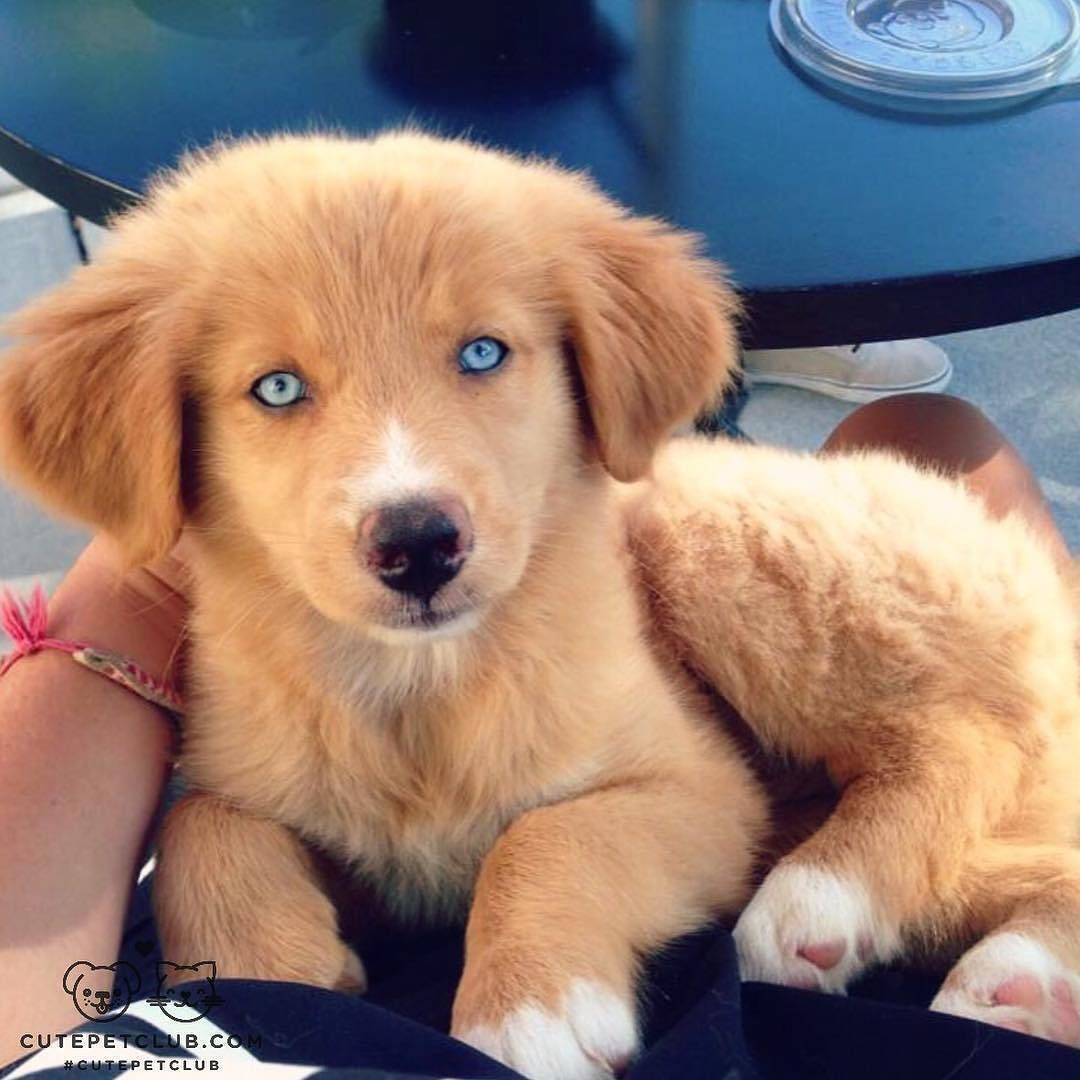 From Kona And Nala Nala Is An Australian Dogs Golden