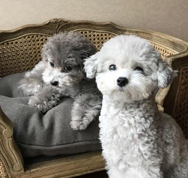 Toy Poodle Poodle Puppy Puppies Poodle Dog
