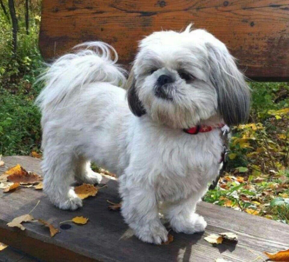 Mascota Shihtzu Shih Tzu Shih Tzu Dog Dog Friends