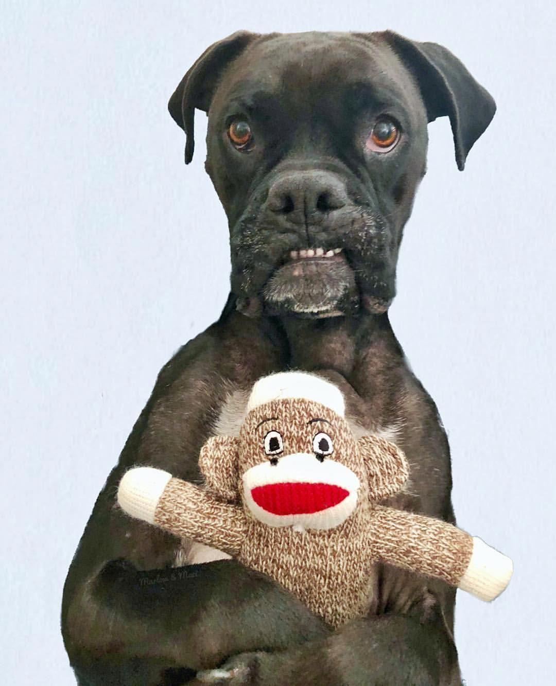 Adorable Or Mug Shot Marlowandmaci Boxer Boxerdog Dog Boxer Dogs Dog Trends Boxer Dogs Training
