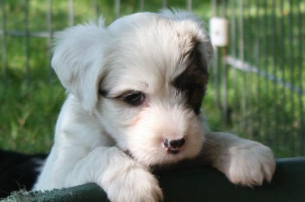 tibetaanse terrier puppy