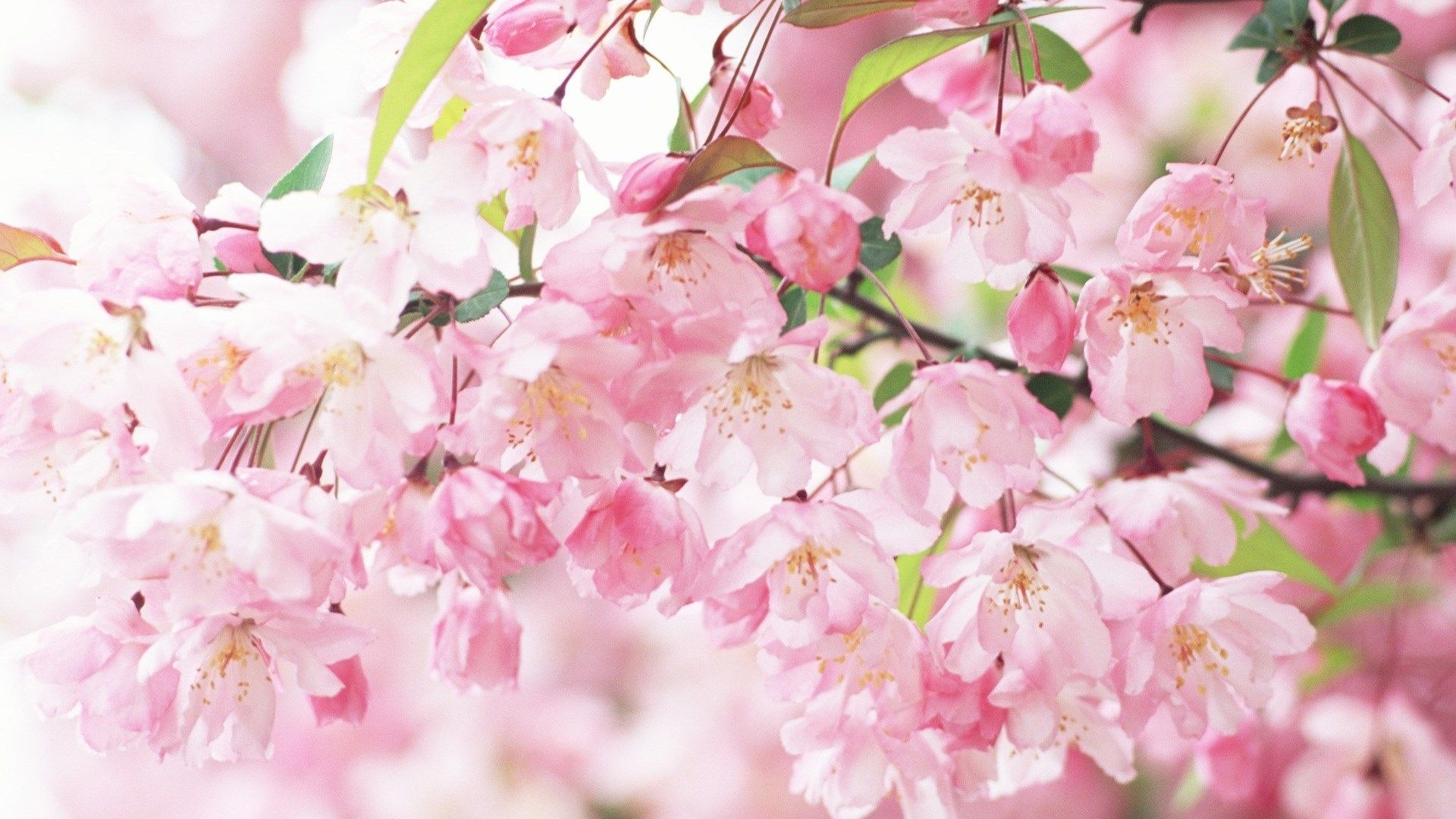 Spring Entdeckung Nein Kalender Hintergrundbilder: Cherry Blossom Wallpaper For Mac Computers