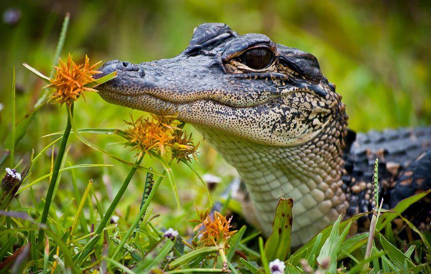 Baby alligator smelling flowers animals cute animals