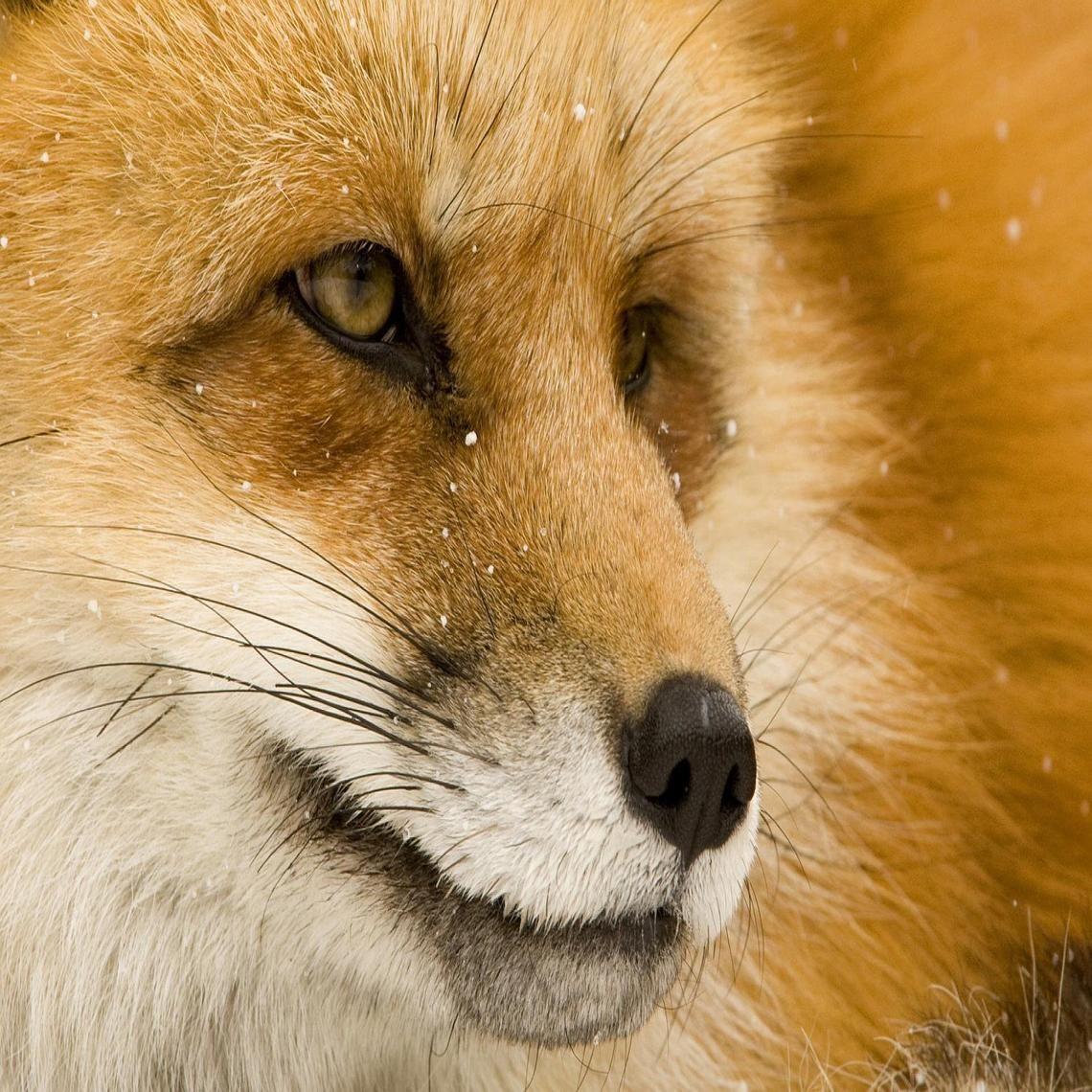 FOX EYES HD
