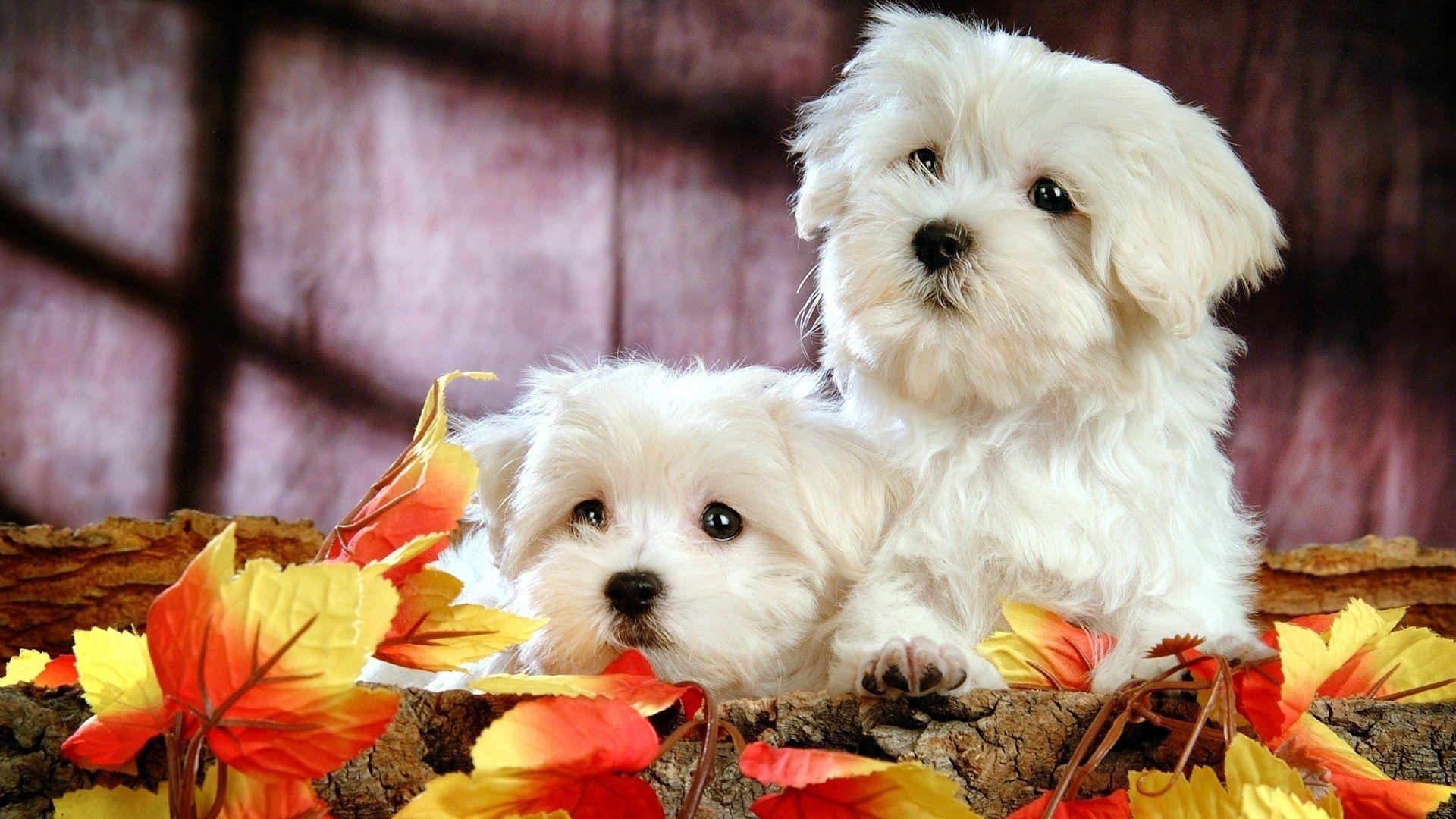 Pin von Natália Cruz auf Cães   Pinterest   Malteser hund kaufen ...