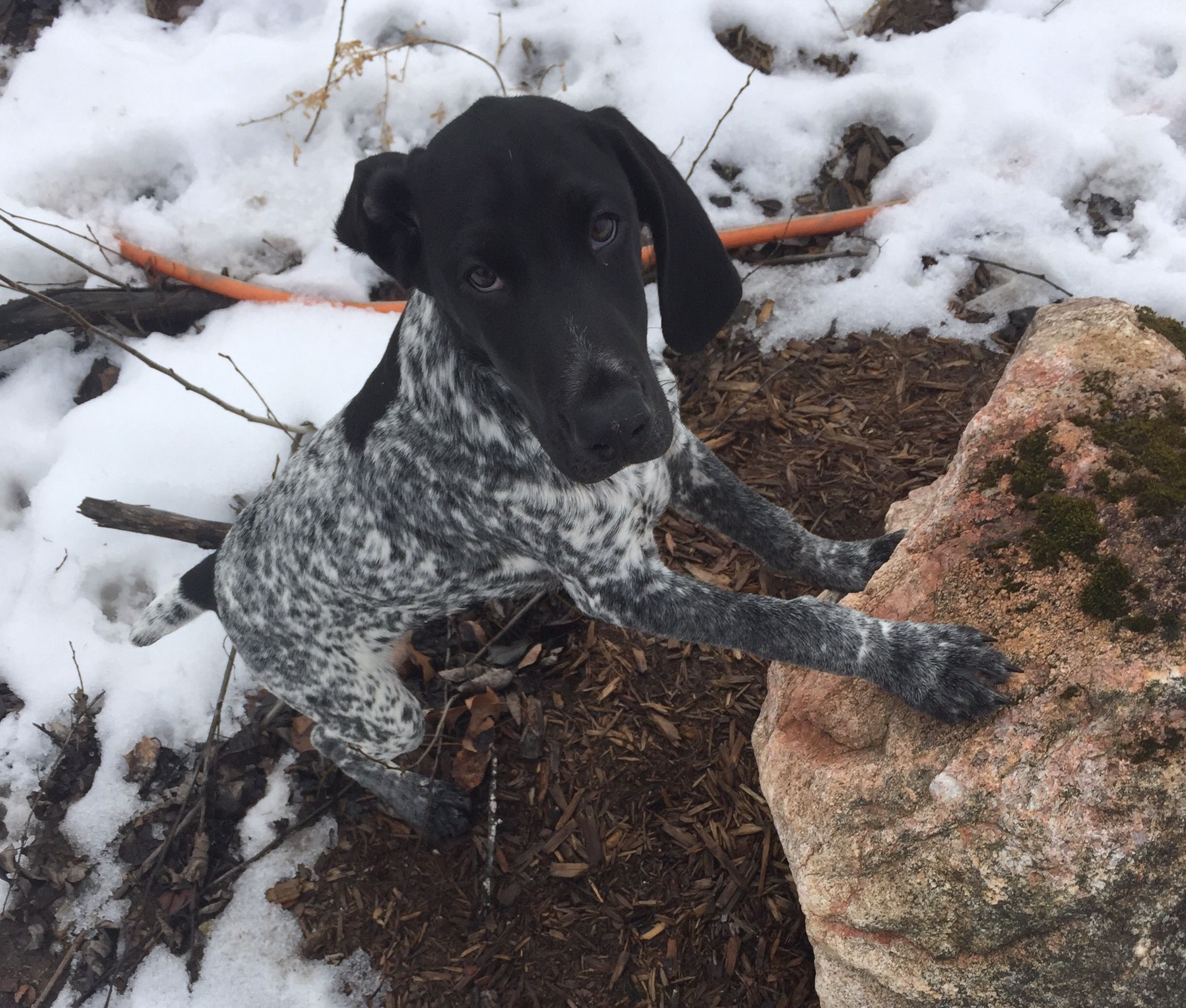 Cole ~ German Shorthaired Pointer Pup ~ Classic \