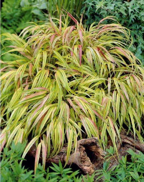 Herbe du japon dor e fleurs plantes jardins flowers for Jardin willemse