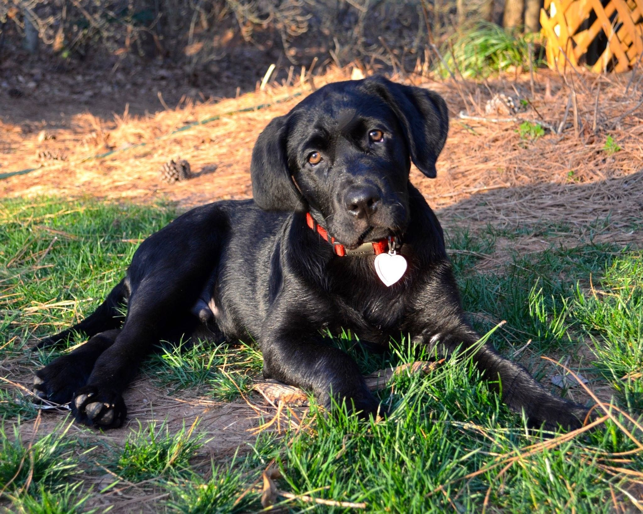 Our 3 Month Old Mastador Mastiff Labrador Puppy Coal
