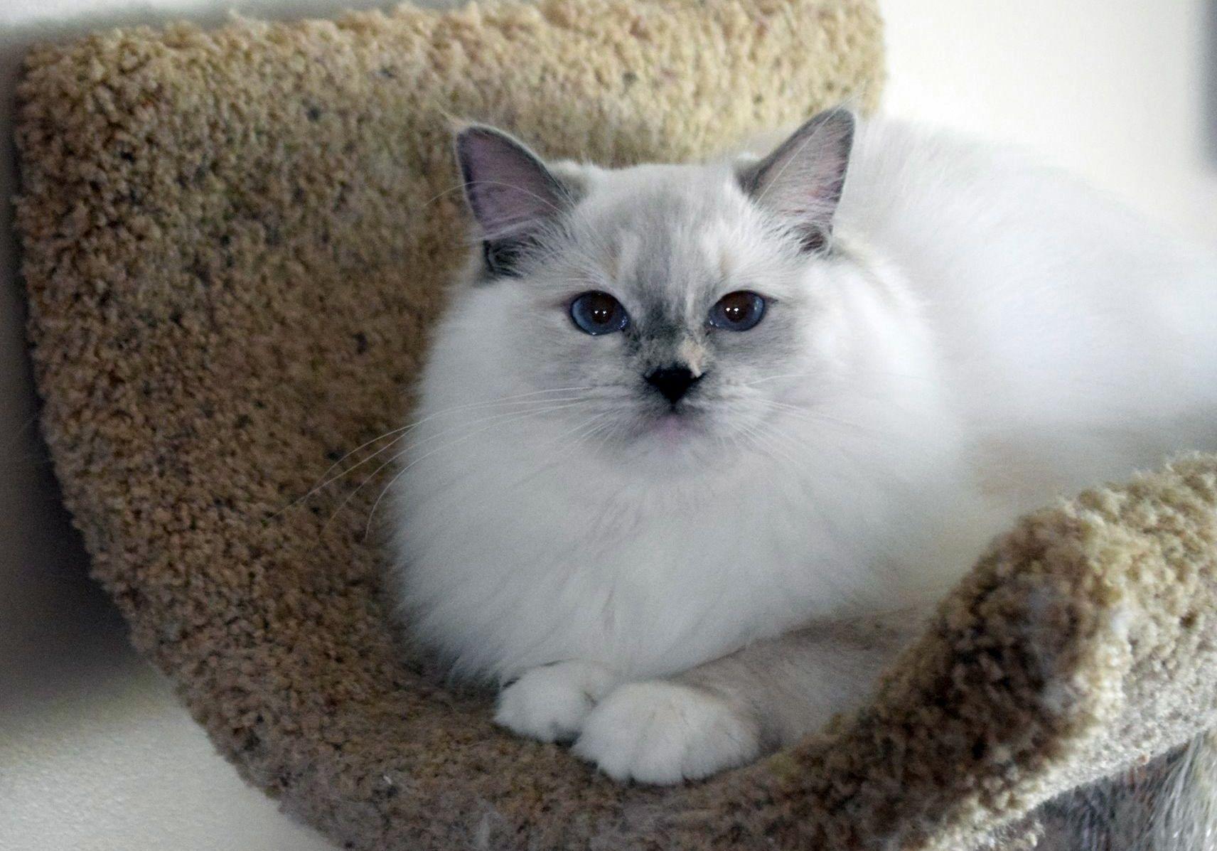 Blue Tortie Mitt Penelope ohemgee cats cat fluffycat