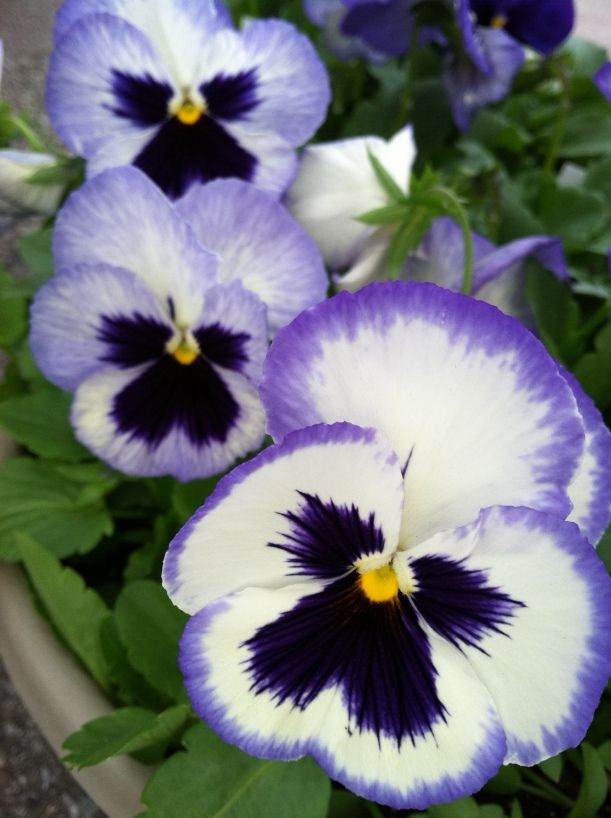 Pansy Gets Its Name From The French Word Pensee Meaning Thought Pansies Flowers Tulip Flower Pictures Pansies