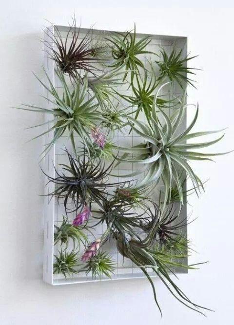 tillandsia horticultura pinterest plantes plante interieur et tableau vegetal. Black Bedroom Furniture Sets. Home Design Ideas