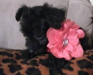 Phoenix Pets Craigslist Pets Dogs Animals