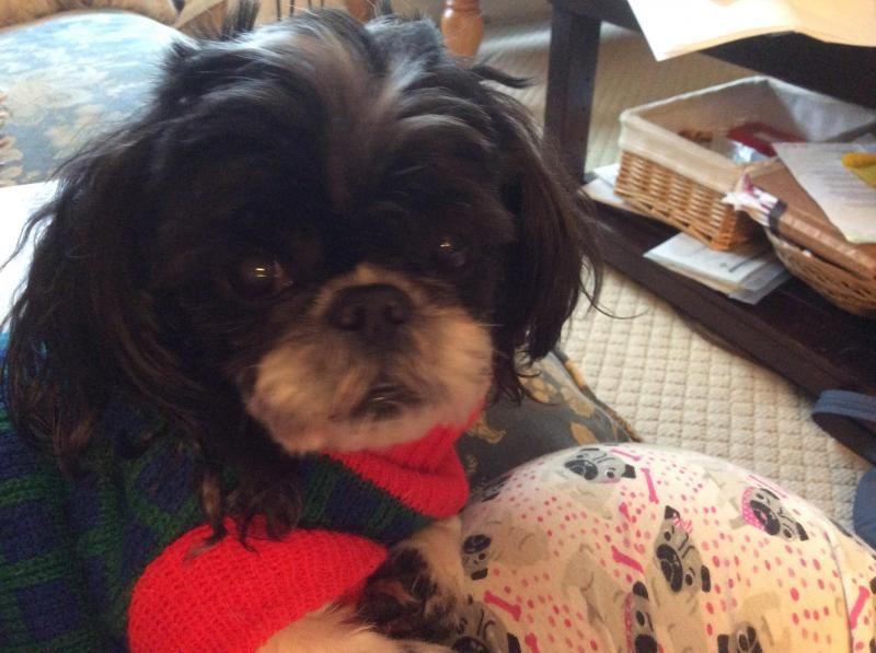 Adopt Buckwheat On Petfinder Shih Tzu Dog Dogs Shih Tzu