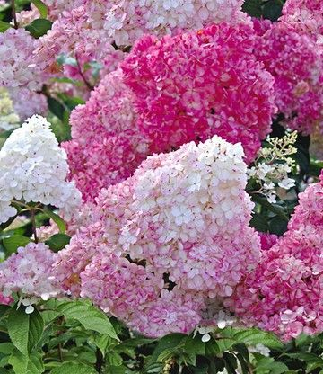 rispenhortensie vanille fraise winterhart traumgarten pinterest gardens flowers and