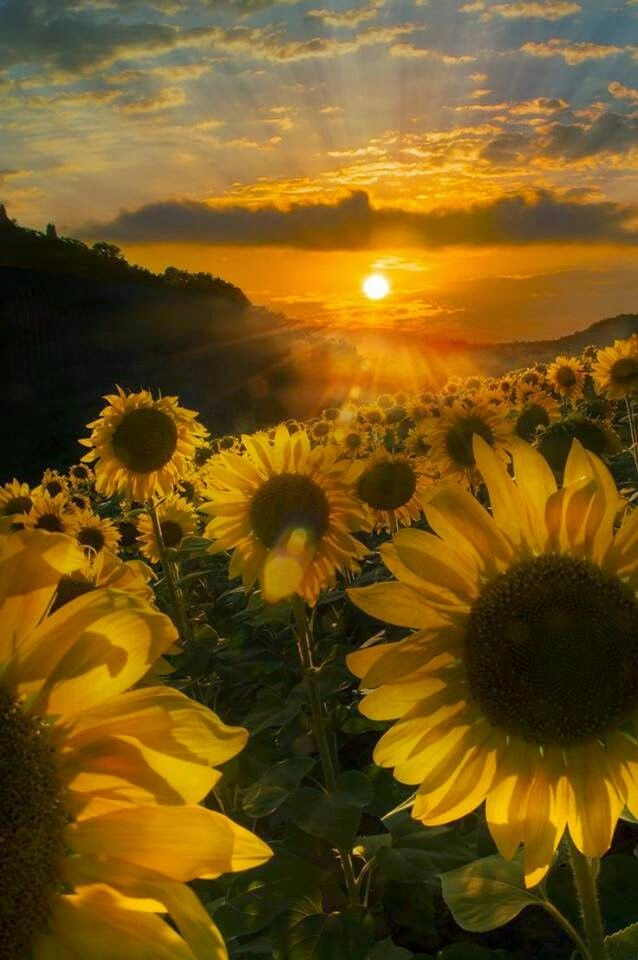 Portami Il Girasole Impazzito Di Luce With Images Nature