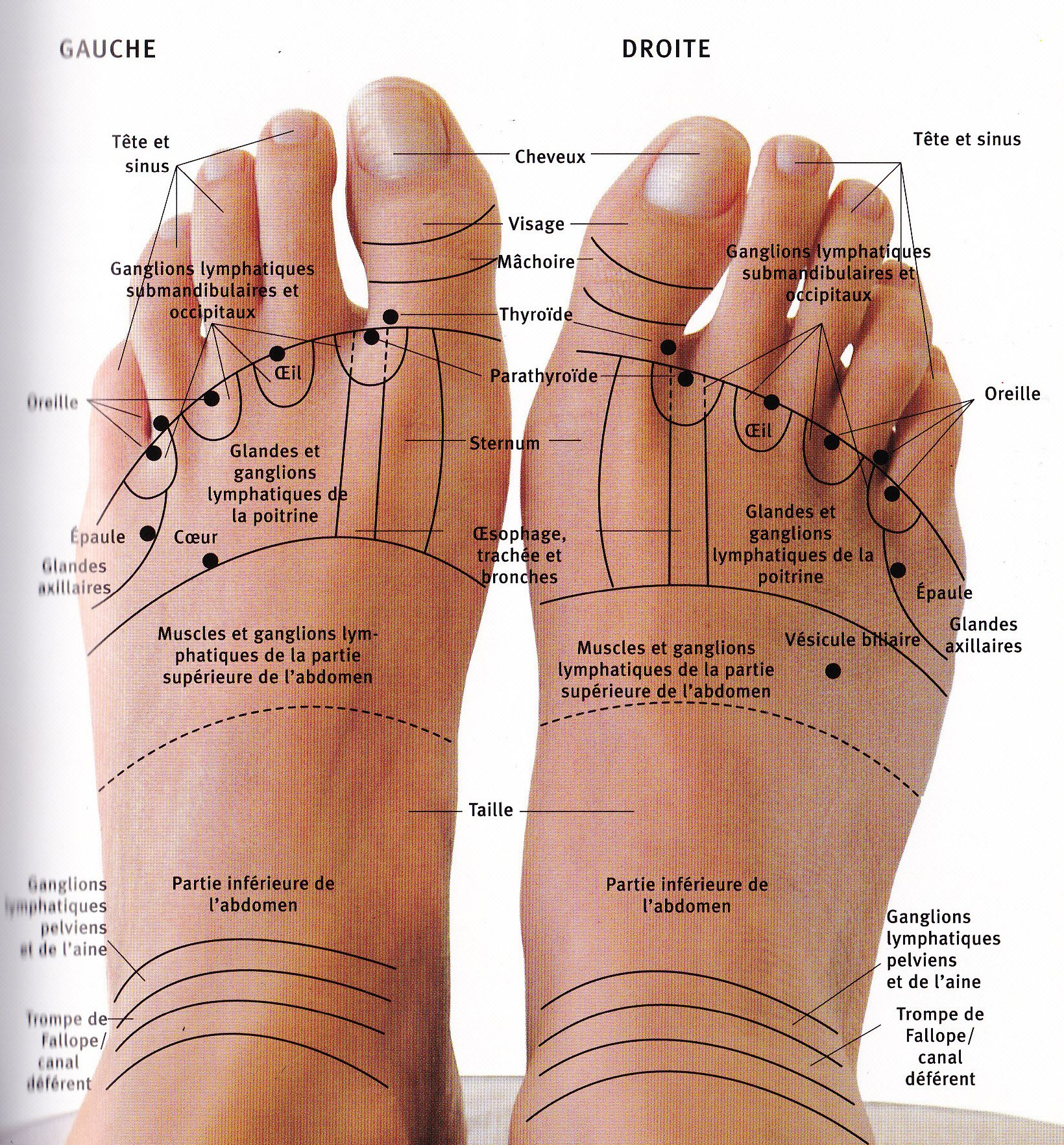 les pieds digitopuncture 2 medecine alternative pinterest le pied pieds et r flexologie. Black Bedroom Furniture Sets. Home Design Ideas