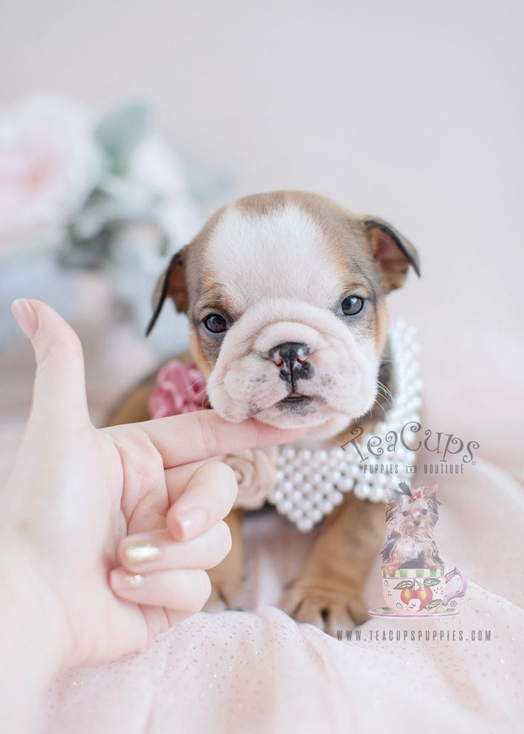 Teacup Puppies English Bulldog Puppies For Sale Cuteteacuppuppies