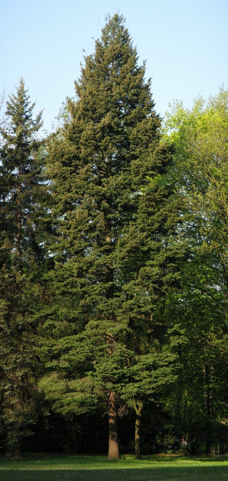 Immergrune Baume Differenzierung Garten Evergreen Evergreen