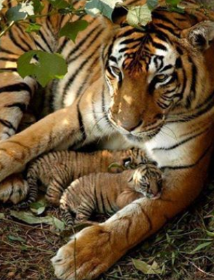 Lovely tiger cubs! A Beautiful Nature photo