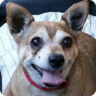 Chihuahua Pug Mix Dog For Adoption In Creston California Daisy